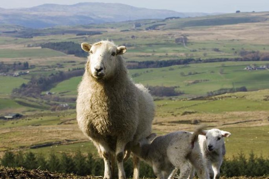 Quality of Welsh hill flocks discussed in the Conwy Valley