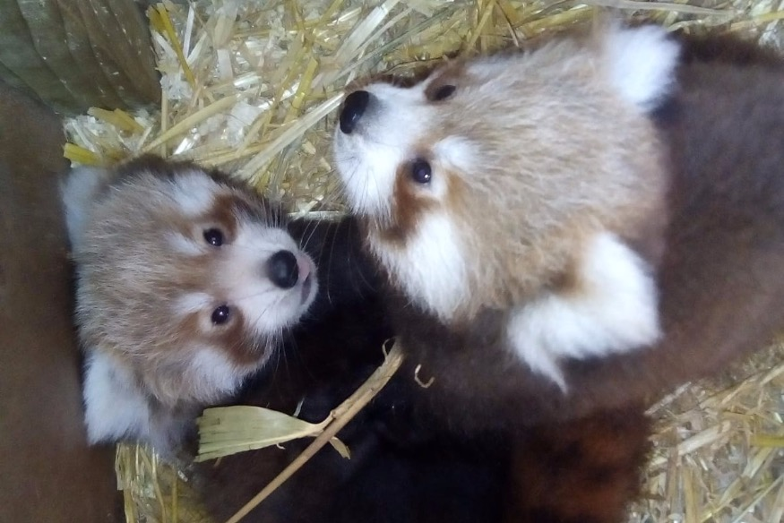 Joy as Red Panda twins are born at Welsh Mountain Zoo