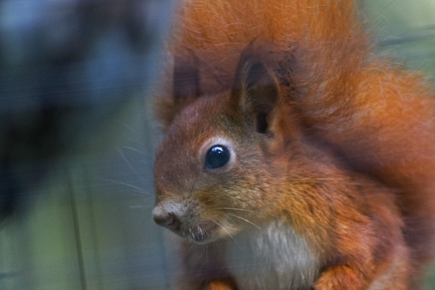 Zoo celebrates arrivals during Red Squirrel Awareness Week