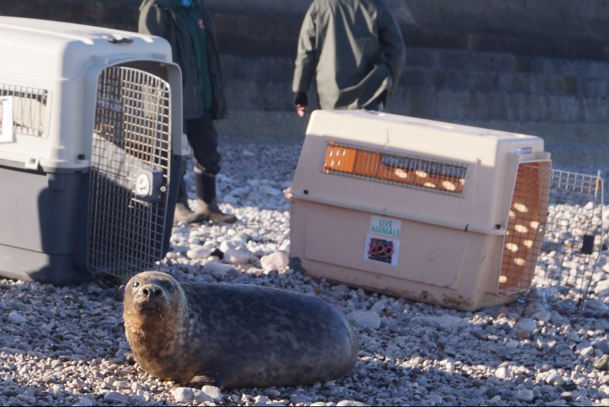 Photos: Seals set sail for new adventures from Penrhyn Bay